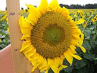 Семена подсолнечника Дунай Стандарт, фото 1