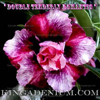 Адениум семена Double Tenderly Romantic
