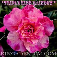 Адениум семена Triple King Rainbow