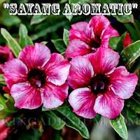 Адениум семена Sayang Aromatic