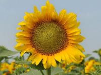 Семена подсолнечника НС Имисан Екстра, фото 1