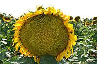 Семена подсолнечник гибрид Кредо F1