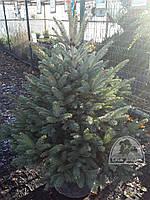 Ель колючая форма зеленая (Picea pungens) / Н 1.0 м+ / ком