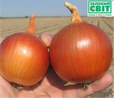 Семена лука Манас F1 (Бейо / Bejo) 250000 семян - среднепоздний (110-115 дней), желтый, круглый, репчатый., фото 3