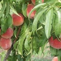 Персик Вавиловский
