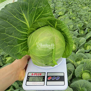 Легат F1 семена капусты, 2500 семян — ультра-раняя (48-50 дней), белокочанная Clause, фото 2