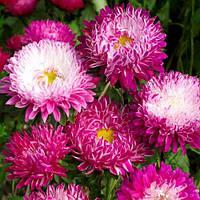 """Семена цветов Астра """"Дюшес"""" лилак и кримсон вайт, однолетнее, 5 г, """"Хем Заден"""", Нидерланды"""