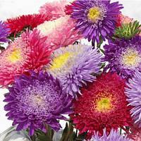"""Семена цветов Астра """"Дюшес"""", смесь, однолетнее, 5 г, """"Хем Заден"""", Нидерланды"""