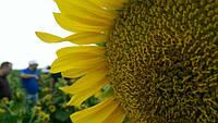Семена подсолнечника компании MAY AGRO (Мей Агро) - лучший выбор для засушливых регионов страны.