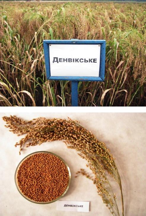 Семена просо Денвикское Р1 Веселоподолянский ДССИ