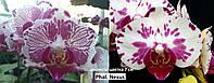 Подростки орхидеи. Сорт Phal. Nexus