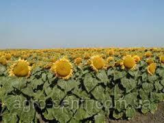 Семена подсолнуха Силует (Франция)