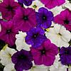 Семена Петуния ампельная Изи Вейв F1 Грейт Лейкс смесь (фиолетовая, синяя, белая)  50 драже Pan American