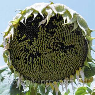 Насіння соняшнику Alfa Seeds Альзан фракція екстра (високоолеіновий)