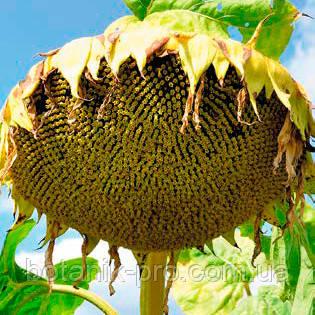 Семена подсолнечника Alfa Seeds Анцилла фракция стандарт