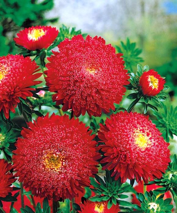"""Семена цветов Астра """"Принцесса"""", ярко-красная, однолетнее, 5 г, """"Хем Заден"""", Нидерланды"""