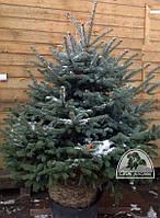 Ель колючая форма голубая (Picea pungens f. glauca) EXTRA / H 1.6 м+