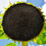 Семена подсолнечника Alfa Seeds Тео под Евролайтинг фракция стандарт, фото 2