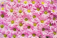 Фотообои Розовая хризантема