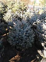 """Ель колючая голубая """"Super Blue Seedling"""" / H 1.0-1.25 м"""