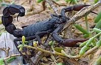 Пластырь с ядом скорпиона