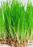 """Микрозелень """"Пшеница"""" (в банке) ТМ """"Твоя Зеленая Весна"""" 30г"""