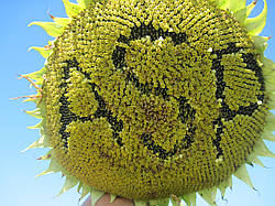 Семена подсолнечника Жалон (стандарт)