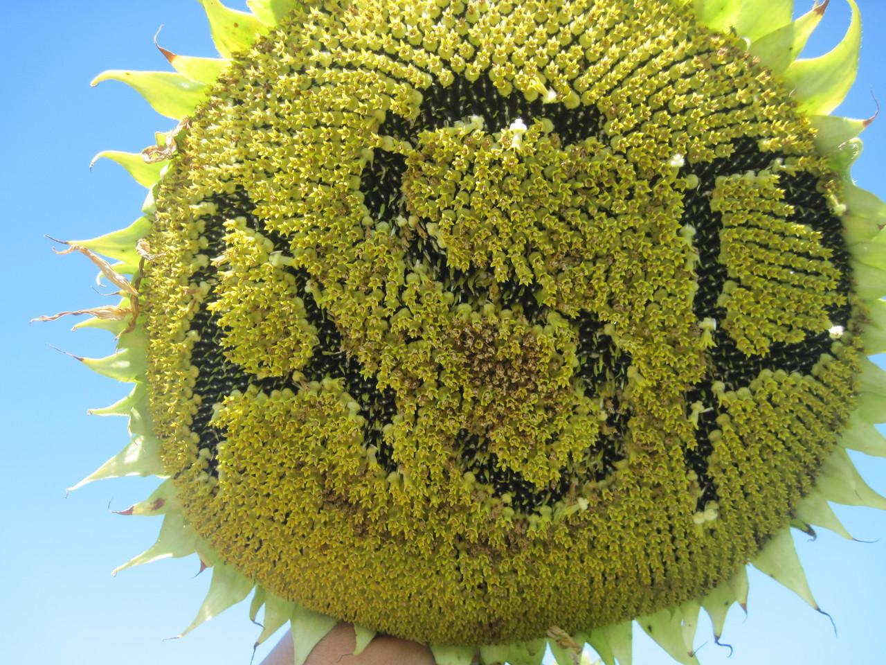 Семена подсолнечника Жалон (экстра)