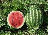 Семена арбуза  Кримсон Свит инкрустированные 500г Польша