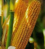 Продажа семян кукурузы, семена кукурузы
