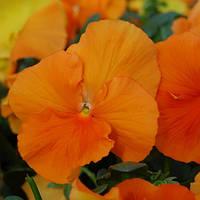 """Семена цветов Фиалка """"Целло F1"""", насыщенно-оранжевая, 50 гранул, """"Садыба центр"""",  Украина"""