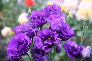 "Семена цветов Эустома ""ABC 2 F1"", синяя, 50 гранул, ""Садыба центр"",  Украина"