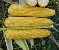 Насіння кукурудзи Ален, ФАО 250 (Франція)