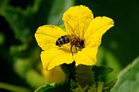 Огурец пчелоопыляемый