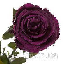 Долгосвежая роза FLORICH - ФИОЛЕТОВЫЙ АМЕТИСТ (7 карат на коротком стебле)