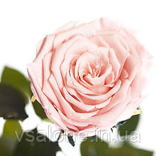 Долгосвежая роза FLORICH - РОЗОВЫЙ ЖЕМЧУГ (5 карат на коротком стебле)