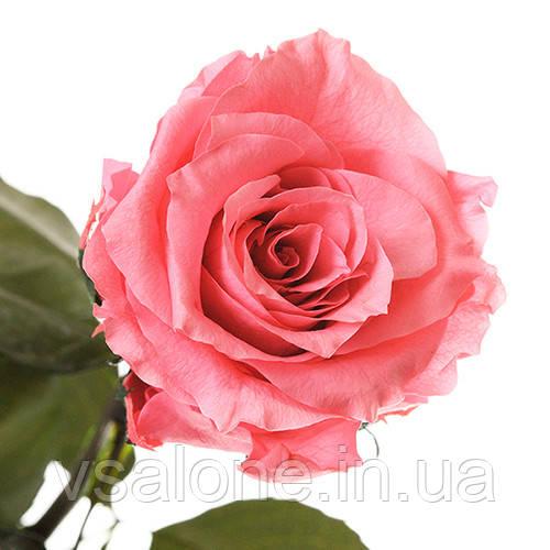 Долгосвежая троянда FLORICH - РОЖЕВИЙ КВАРЦ (5 карат на короткому стеблі)