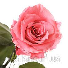 Долгосвежая роза FLORICH - РОЗОВЫЙ КВАРЦ (5 карат на коротком стебле)