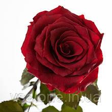 Долгосвежая роза FLORICH - БАГРОВЫЙ ГРАНАТ (5 карат на коротком стебле)