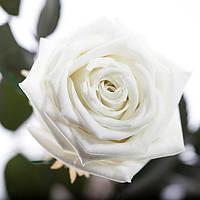Долгосвежая роза FLORICH - БЕЛЫЙ БРИЛЛИАНТ (7 карат на коротком стебле)