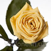 Долгосвежая роза FLORICH - ЖЕЛТЫЙ ТОПАЗ (7 карат на коротком стебле)