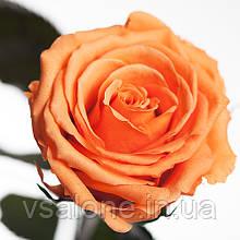 Долгосвежая роза FLORICH - ЗОЛОТИСТЫЙ ХРИЗОБЕРИЛЛ (7 карат на коротком стебле)
