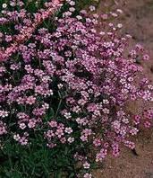 Семена цветов Гипсофила розовая