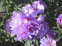 Семена цветов Годеция