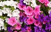 Семена цветов Петуния садовая