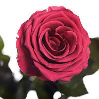 Долгосвежая троянда FLORICH - РОЖЕВИЙ КОРАЛ (7 карат на середньому стеблі), фото 1