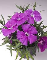 """Семена цветов гвоздики """"Чибо F1"""", фиолетовая, 100 гранул, """"Садыба центр"""", Украина"""