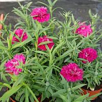 """Семена цветов гвоздики """"Грейс F1"""", насыщенно-розовая, 100 гранул, """"Садыба центр"""",  Украина"""