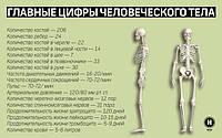Весы человеческие или все, что нужно знать о нашем организме
