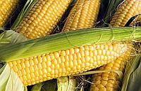 Семена кукурузы Почаевский (Почаївський) ФАО 190, 25 кг в мешке